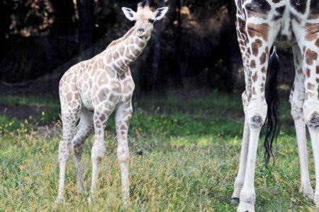 Baby Giraffe At Bronx Zoo