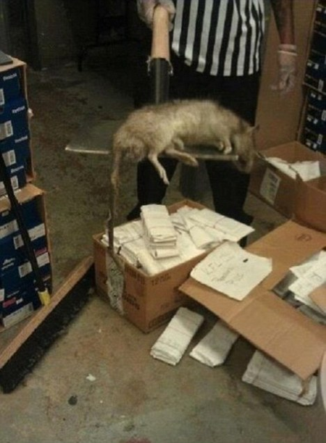 Giant Rat Found Inside A Bronx Foot Locker