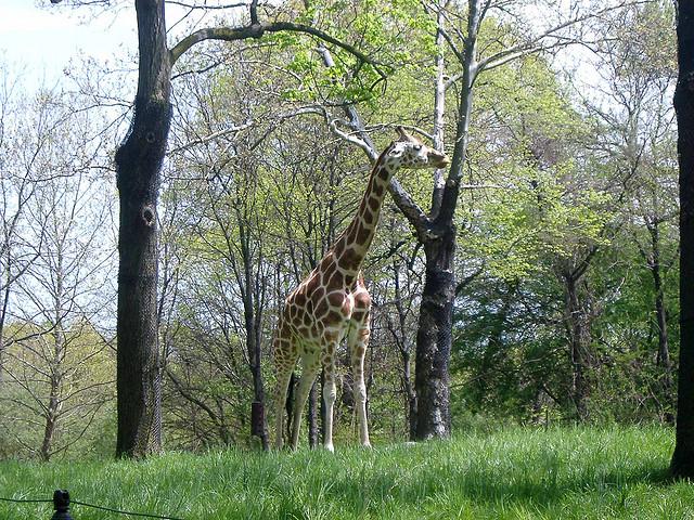 Giraffe at the Bronx Zoo.