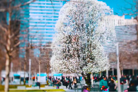 Meet The Beautiful, Remarkable Tree That Survived 9/11