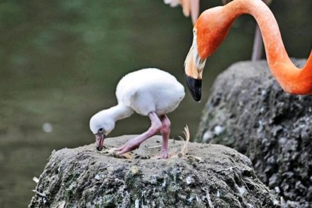 Bronx Flamingo Chick's First Steps