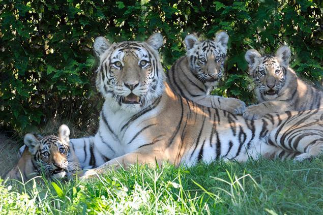 Man Mauled By Bronx Zoo Tiger