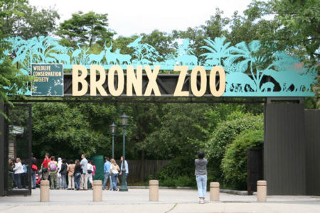 Man Mauled By Bronx Zoo Tiger