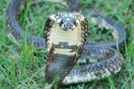 Deadly Cobra Missing From Bronx Zoo