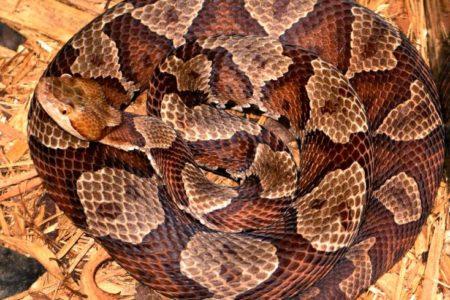 Jacobi Treats Copperhead Snake Bite