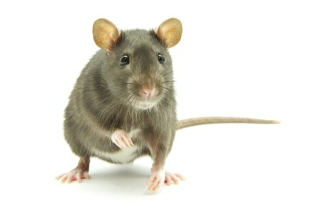 Bacterial Infection Caused By Rat Urine In Bronx Kills 1, Sickens 2 Others