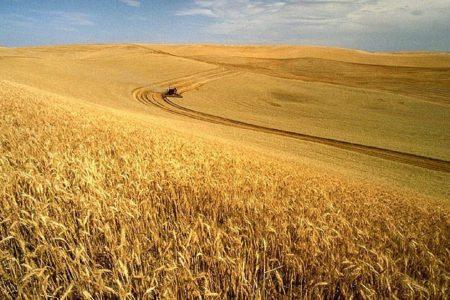 Breeding Better Wheat
