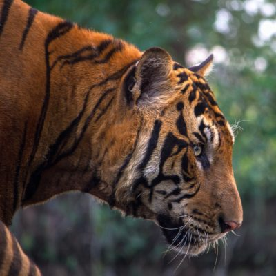 A Bronx Zoo Tiger Tests Positive For Coronavirus