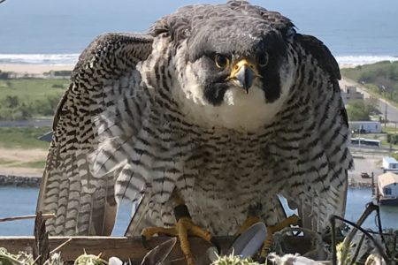 Six Peregrine Falcon Chicks Hatched At MTA Bridges & Tunnels